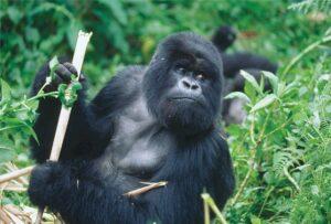 Silverback gorilla in the wild